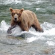 Large Brown Bear fishing for salmon in river — Stock Photo #12320020