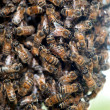 Swarm of honey bees — Foto de Stock
