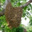 Swarm of bees in a tree — Stock Photo #12320179