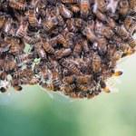 Swarm of honey bees — Stock Photo #12320268
