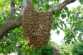 Swarm of bees in a tree — Stock Photo