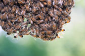 Swarm of honey bees — Stock Photo