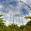 Agave plant — Stock Photo #11050755