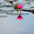 Water lilies with reflection — Stock Photo