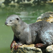 Smooth Otter - Stock Photo