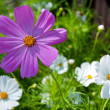 Pink & white daisy — Stock Photo
