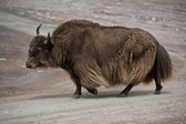 Brown Tibetan yak — Stock Photo