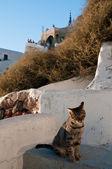 圣托里尼岛的那只猫 — 图库照片