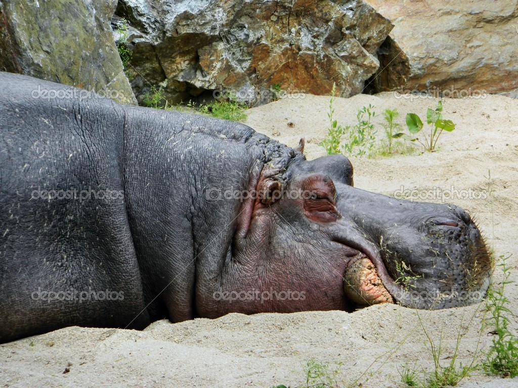 Hippo resting after a good lunch at the zoo.  Stock Photo #11055535