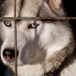Hasky in cage — Stock Photo
