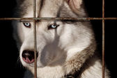 Hasky in cage — Photo