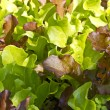 Close up of growing baby salad leaves — Stock Photo
