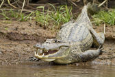 Cayman (Caiman crocodilus fuscus) — Stock Photo