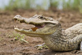 Cayman (Caiman crocodilus fuscus) with butterfly feeding in its — Stock Photo
