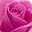 Close up of pink rose with rain drops — Stock Photo #11060744