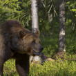 Male brown bear (Ursus Arctos) - Stock Photo