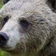 Portrait of a Female Brown Bear (Ursus arctos) — Stock Photo