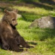 Brown bear cub (Ursus arctos) resting in the sunshine — Stock Photo