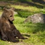 Brown bear cub (Ursus arctos) resting in the sunshine — Stock Photo