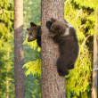 Stock Photo: Two Brown Bear cubs (Ursus arctos) climbing a tree