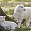 Stock Photo: Twin lambs