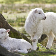 Twin lambs — Stock Photo #11061655