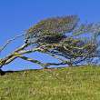 Windblown Hawthorn — Stock Photo