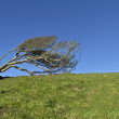 Windblown Hawthorn - Stock Photo