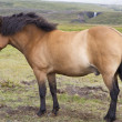Icelandic Pony Stallion in profile - Stock Photo