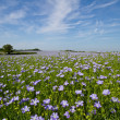 Field of Linseed or Flax in flower — Stock Photo #11065837