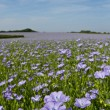 Field of Linseed or Flax in flower — Stock Photo #11065845