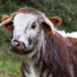 Dorset Longhorn Steer — Stock Photo