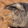 Stock Photo: British Saddleback Boar pig