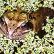 Close up of a Common Frog — Stock Photo