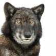 Isolated portrait of a European Wolf - Stock Photo