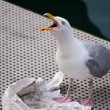 Calling Seagull — Stock Photo