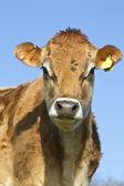 Portrait of a Jersey Cow — Foto de Stock