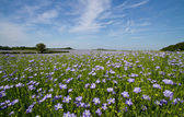 Field of Linseed or Flax in flower — Stock Photo