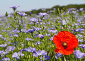 Single poppy in a field of blue linseed flowers — Stock Photo