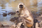 Mother and Baby Grey Langur Monkey — Stock Photo