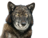 Isolated portrait of a European Wolf — Stock Photo
