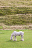 Grey horse grazing — Stock Photo