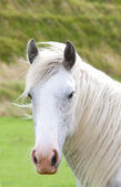 Grey windblown horse — Stock Photo