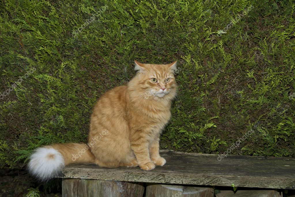 Young male ginger long haired cat with attitude sat on a bench  Stock Photo #11060209