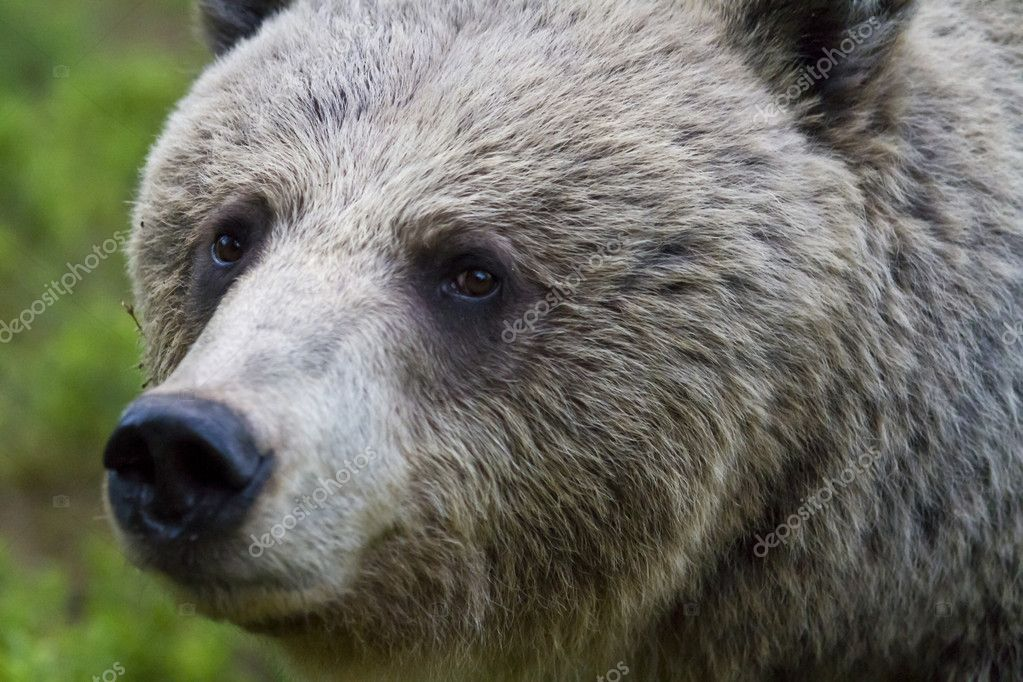 Close up of a wild female brown bear (Ursus arctos) staring at the camera — Stock Photo #11061537