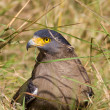 Stock Photo: Serpent Eagle
