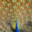 Peacock Displaying — Stock Photo