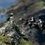 Puffins landing — Stock Photo #11075071