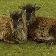 Soay sheep lambs — Stock Photo #11075091