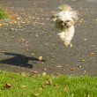 Small dog jumping - Stock Photo